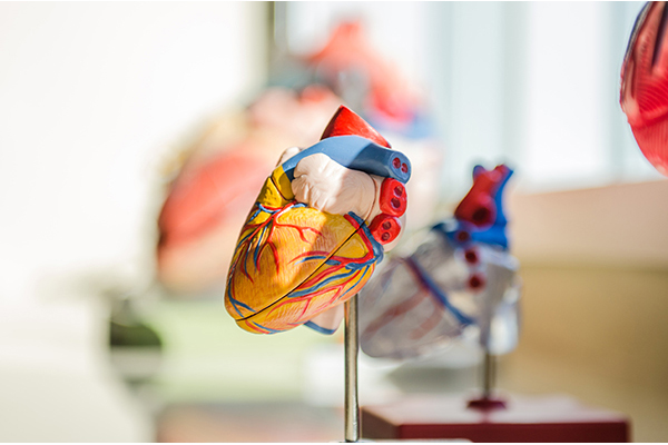 a biological model of the human heart