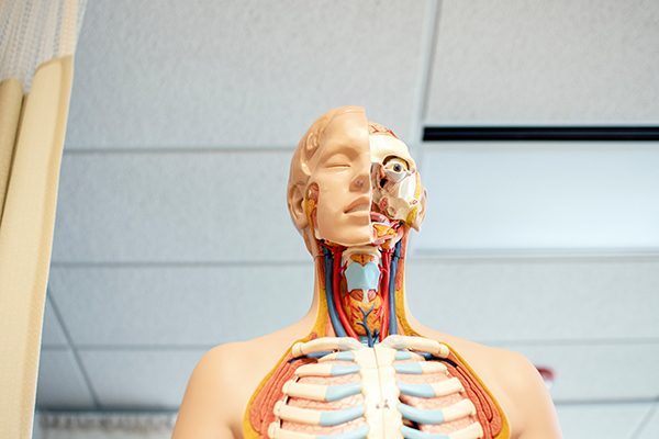 a life size model of a human body