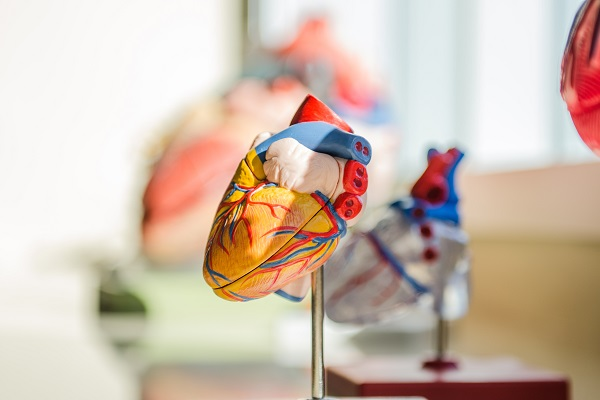 a model of the human heart